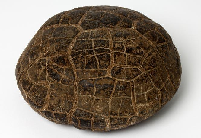 септария камень